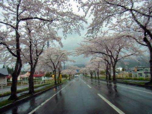 むつはまなすライン 桜