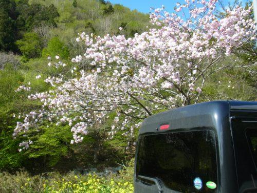 陸前高田市の桜
