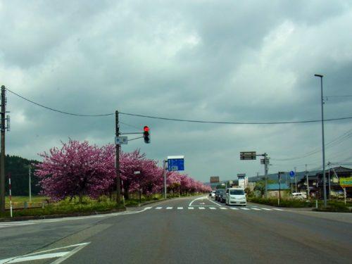 上関の桜並木