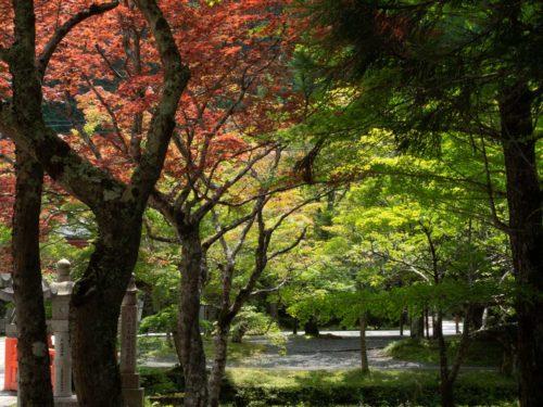 高野山奥の院の新緑